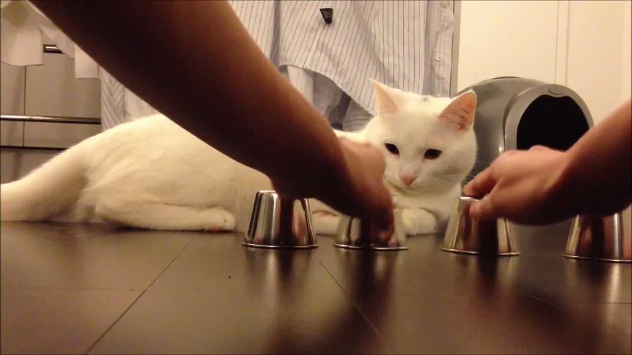 Smart katt försöker hitta den gömda kulan